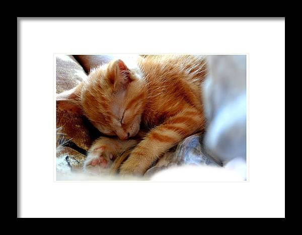 Kitten Framed Print featuring the photograph Orange Kitten Sleeping In Silk And Satin by Reva Steenbergen