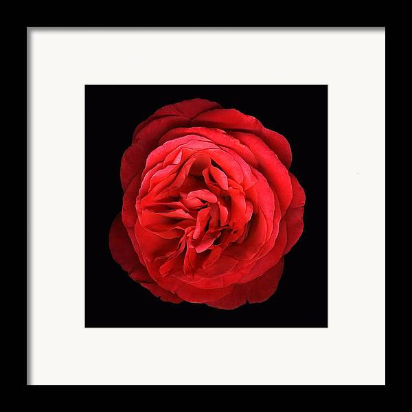Scanography Framed Print featuring the photograph Orange Rose by Deborah J Humphries