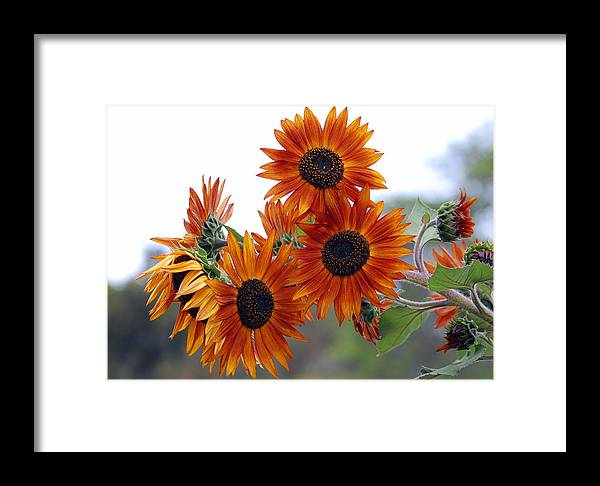 Sunflower Framed Print featuring the photograph Orange Sunflower 1 by Amy Fose