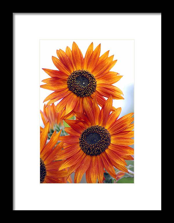 Sunflower Framed Print featuring the photograph Orange Sunflower 2 by Amy Fose