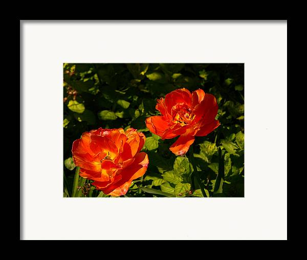 'orange Tulips' Framed Print featuring the photograph Orange Tulips In My Garden by Helmut Rottler