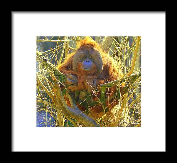 Orangutan Framed Print featuring the photograph Orangutan by Lisa Rose Musselwhite