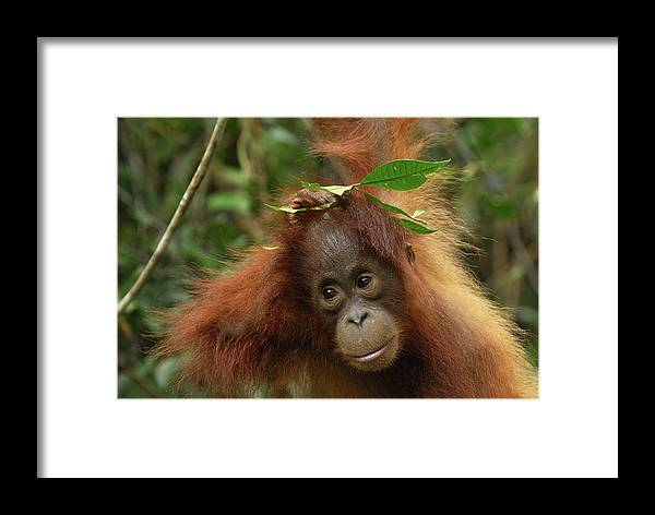 Mp Framed Print featuring the photograph Orangutan Pongo Pygmaeus Baby, Camp by Thomas Marent