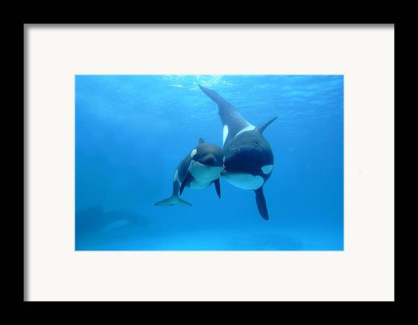 Mp Framed Print featuring the photograph Orca Orcinus Orca Mother And Newborn by Hiroya Minakuchi