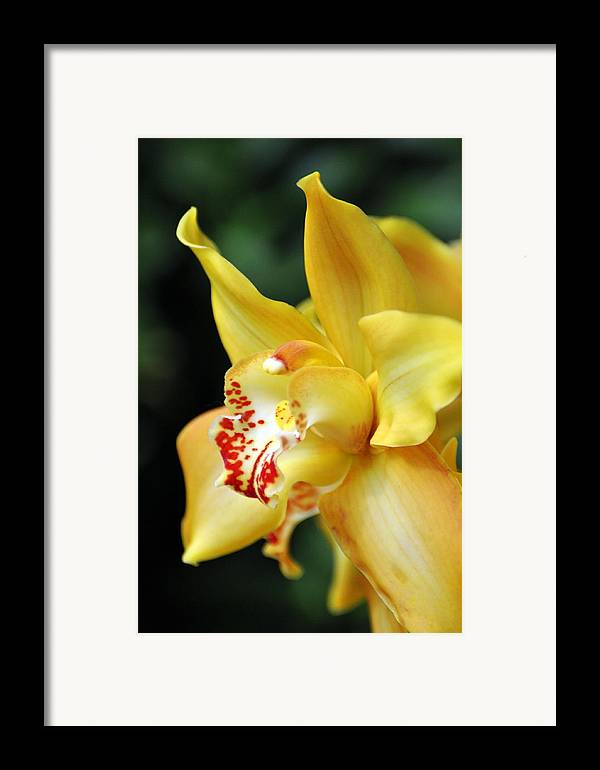 Orchid Framed Print featuring the photograph Orchid 24 by Marty Koch