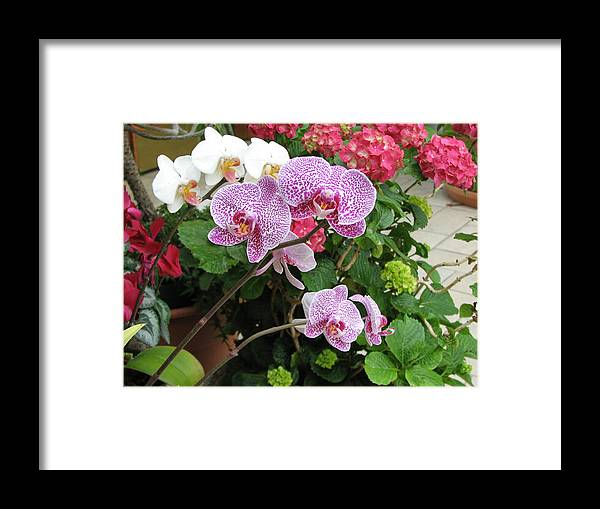 Orchid Framed Print featuring the photograph Orchid 6 by David Dunham