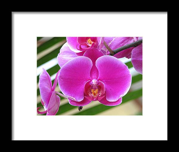 Orchid Framed Print featuring the photograph Orchid 8 by David Dunham
