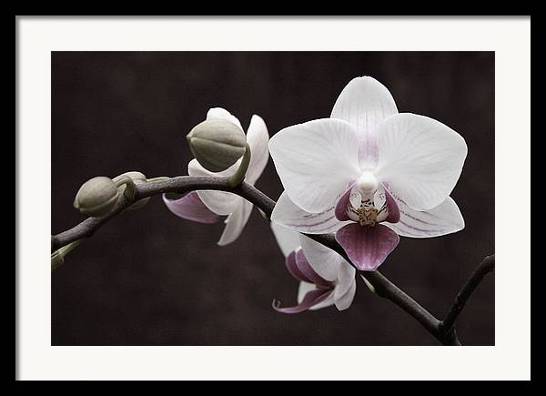 Orchid Framed Print featuring the photograph Orchid by Sally Engdahl