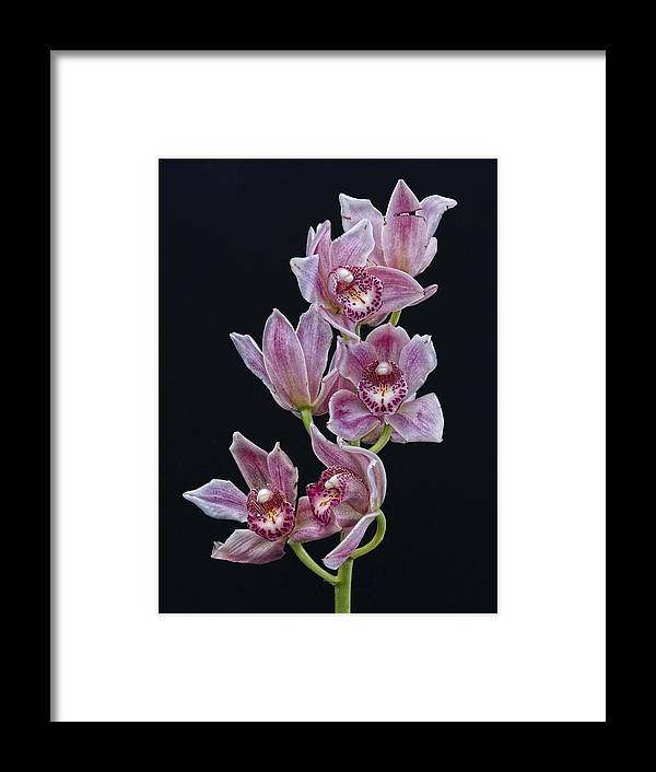 Orchid Framed Print featuring the photograph Orchid Study 1 by Robert Ullmann