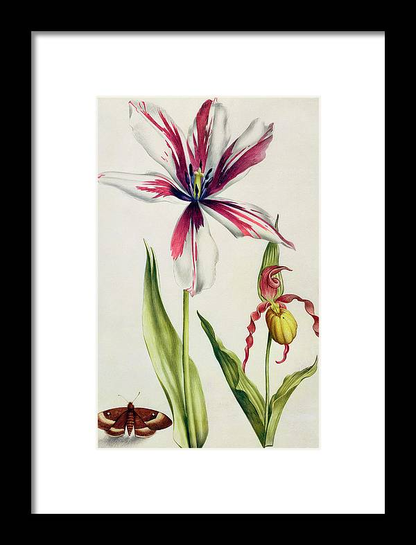 Orchid Framed Print featuring the painting Orchid, Tulip And Butterfly by Nicolas Robert