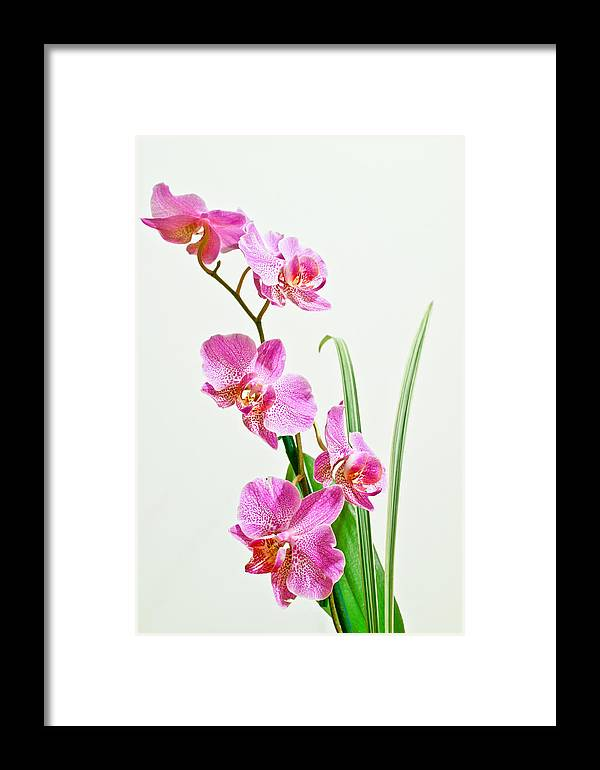 Orchid Framed Print featuring the photograph Orchids by Edward Myers