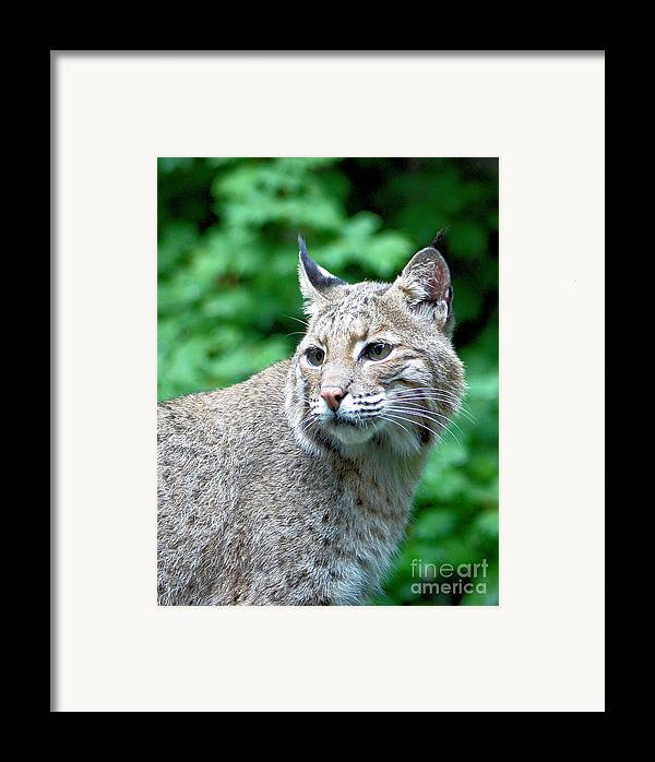 Bobcat Framed Print featuring the photograph Oregon Bobcat by Nick Gustafson