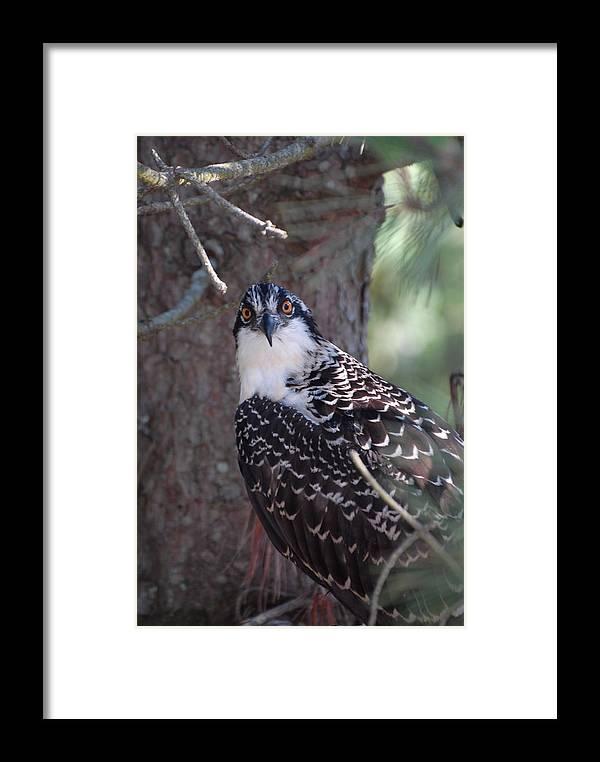 Osprey Framed Print featuring the photograph Osprey 28 by Joyce StJames