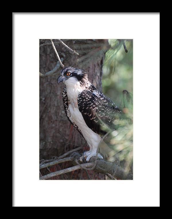Osprey Framed Print featuring the photograph Osprey 37 by Joyce StJames