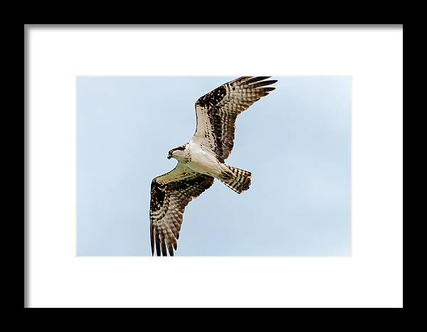 Bif Framed Print featuring the photograph Osprey Hovering by John Bartelt