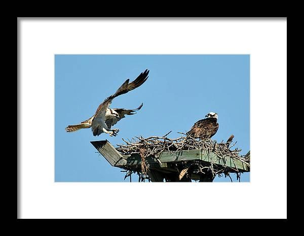 Osprey Framed Print featuring the photograph Osprey Landing In Nest by Alan Lenk