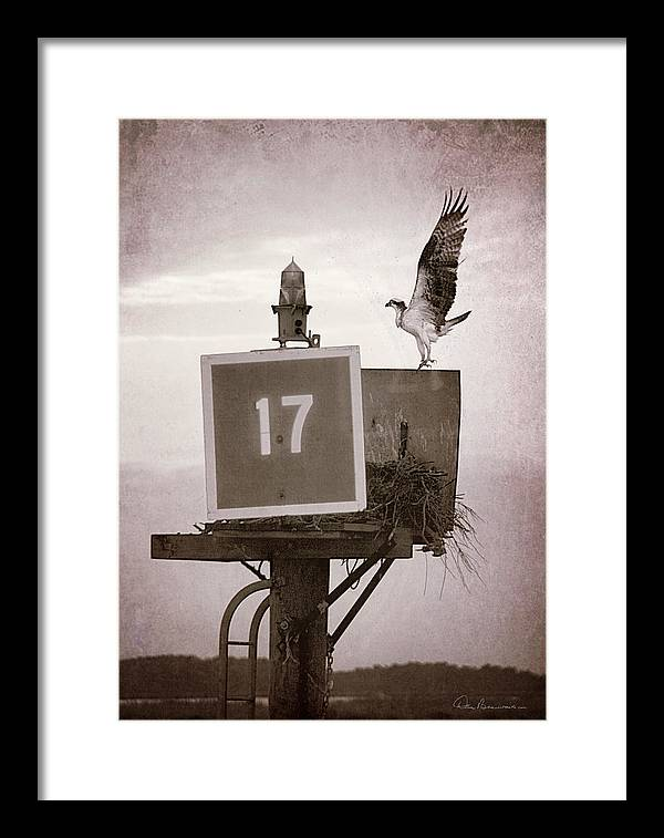 Outer Banks Framed Print featuring the photograph Osprey Landing On Channel Marker 17 by Dan Beauvais