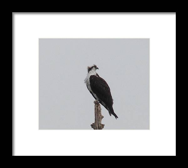 Osprey Framed Print featuring the photograph Osprey Lookout by Andrea Freeman