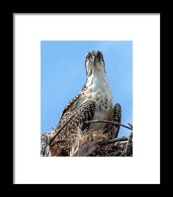Osprey Framed Print featuring the photograph Osprey Nesting by Francesco Roncone