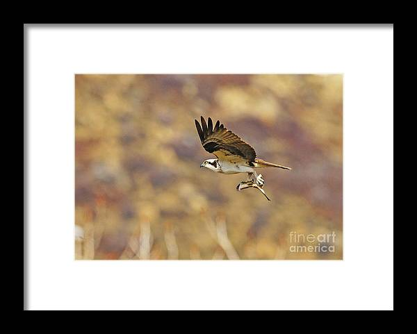 Bird Framed Print featuring the photograph Osprey On The Wing With Fish by Dennis Hammer
