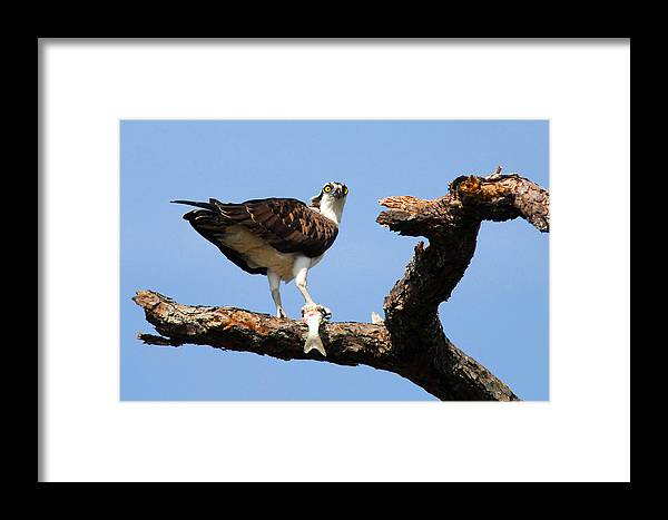 Bird Framed Print featuring the photograph Osprey With Fish by Alan Lenk