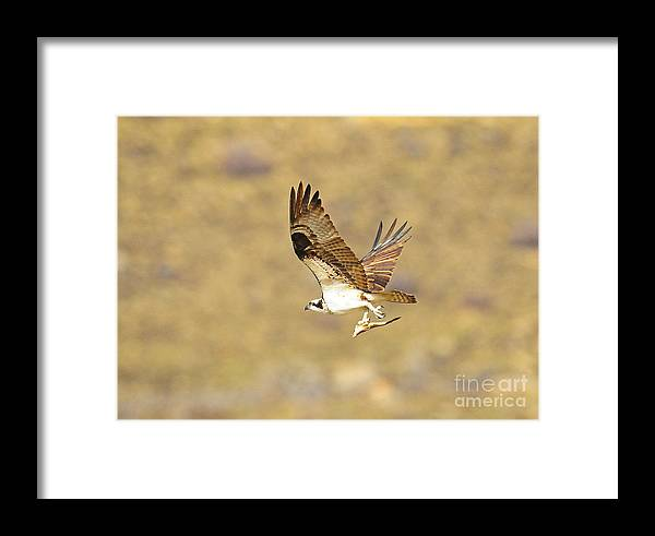 Bird Framed Print featuring the photograph Osprey With Fish by Dennis Hammer