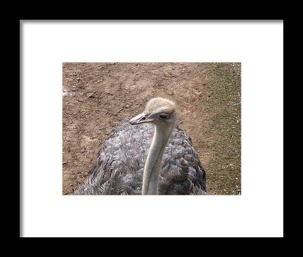 Ostrich Framed Print featuring the photograph Ostrich by Melissa Parks