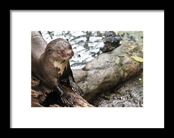 River Framed Print featuring the photograph Otter Surprise by Elizabeth Hart