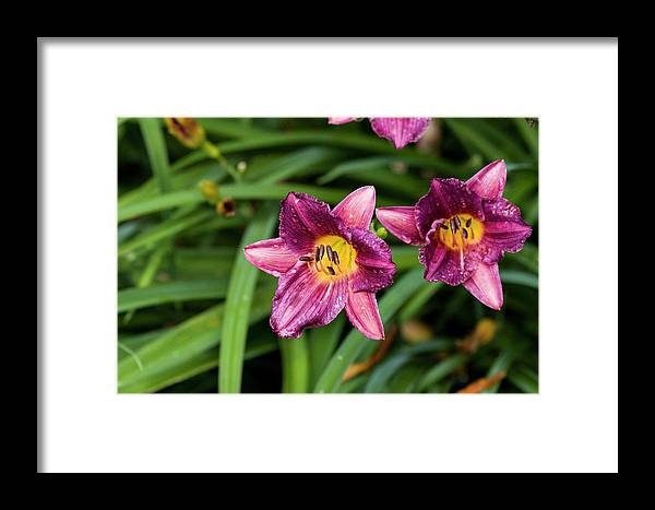 Beautiful Framed Print featuring the photograph Purple Stella Doro Day Lily by Bob Corson