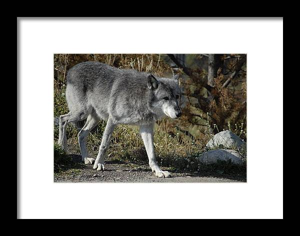 Dog Framed Print featuring the photograph Out For A Walk by Curtis Gibson