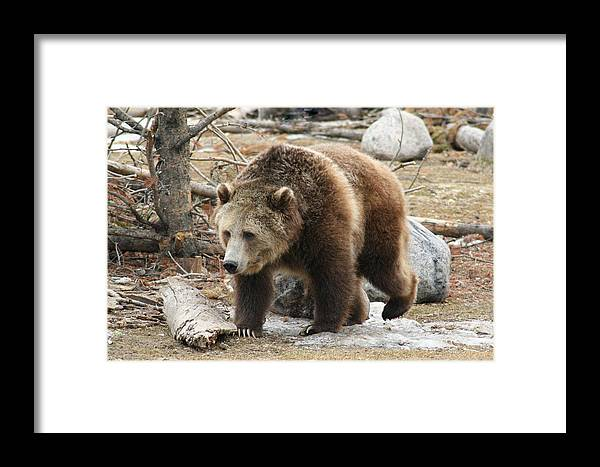 Wildlife Framed Print featuring the photograph Out From The Den by Scott Bailey