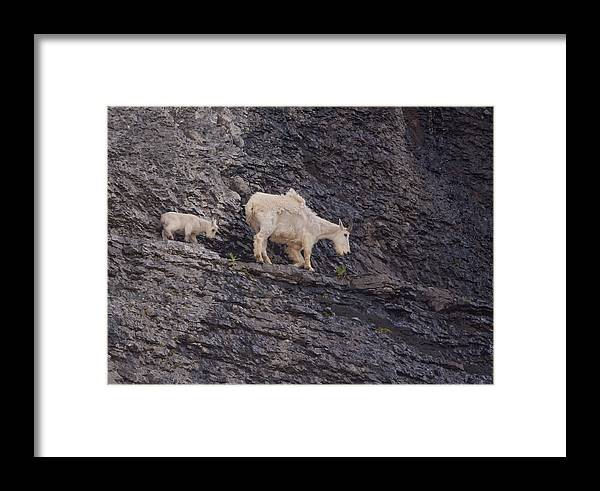 Mountain Goat Framed Print featuring the photograph Out On A Ledge by Kent Keller
