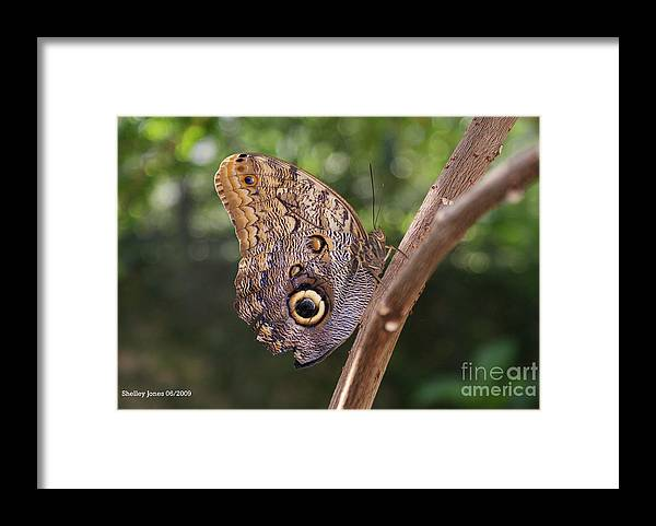 Butterfly Framed Print featuring the photograph Owls don't always have feathers by Shelley Jones