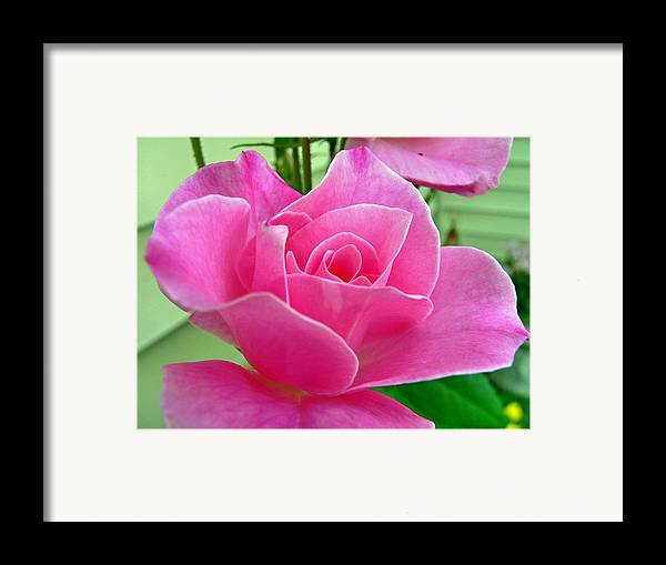 Flower Framed Print featuring the photograph p1050202b Pink Rose by Ed Immar