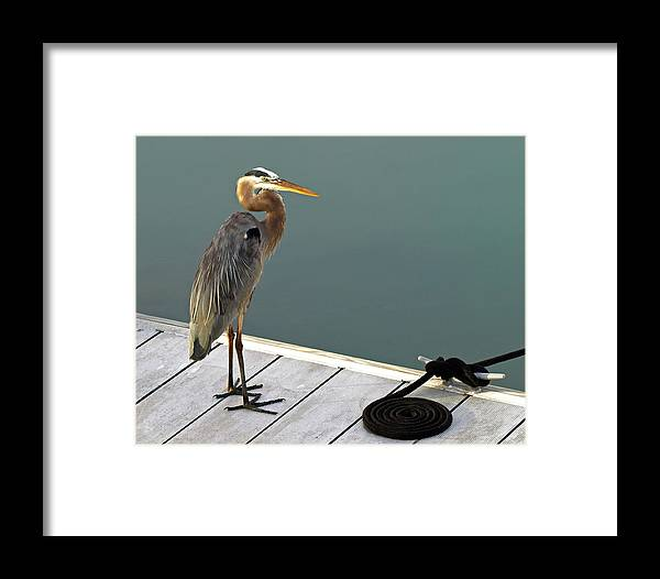Great Blue Heron Framed Print featuring the photograph P1104117 Great Blue Heron by Stephen Ham