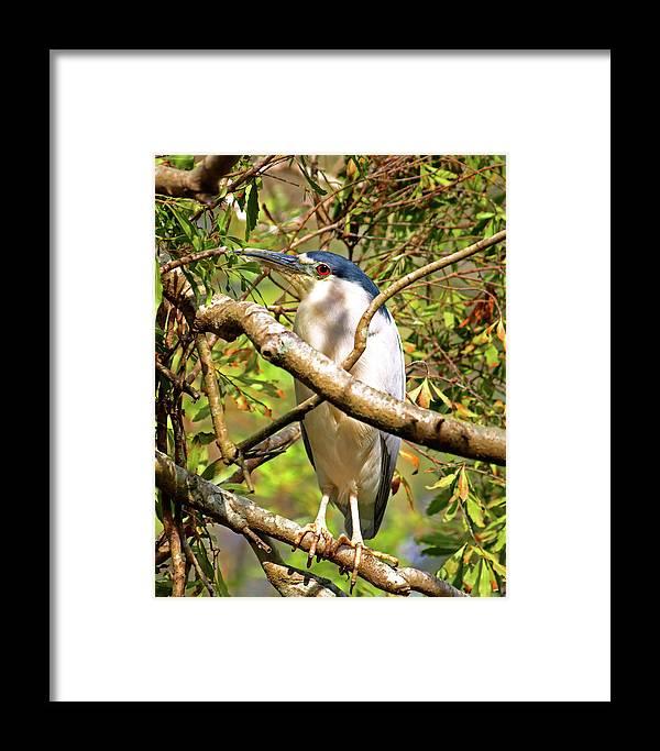 Black Crowned Night Heron Framed Print featuring the photograph P2024983 Black Crowned Night Heron by Stephen Ham