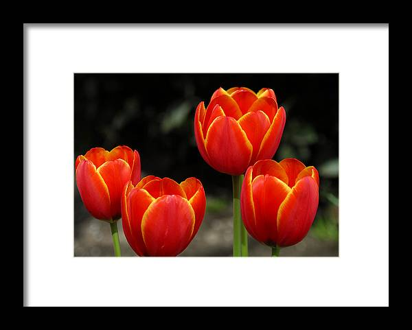 Tulips Framed Print featuring the photograph Pacific Northwest Tulips 5 by Keith Gondron