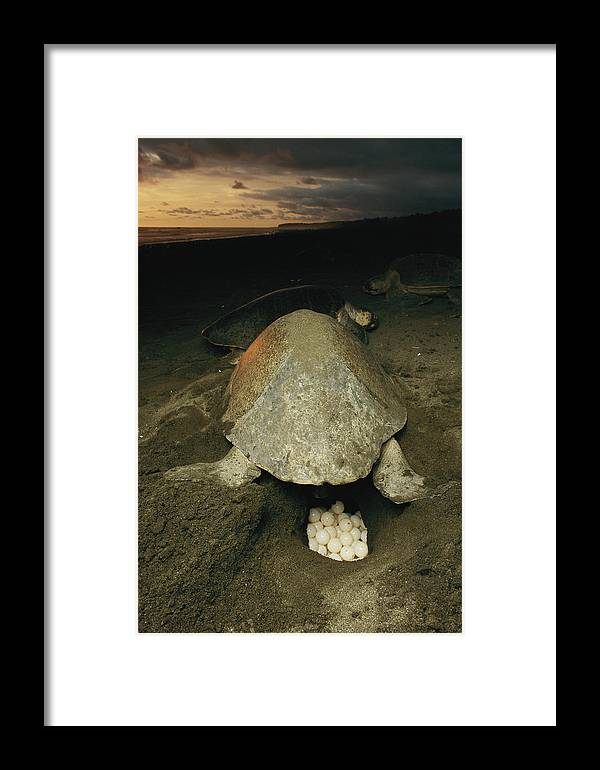 Animals Framed Print featuring the photograph Pacific Or Olive Ridley Turtle Laying by Steve Winter