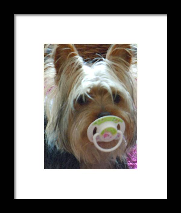 Miniature Yorkshire Terrier Framed Print featuring the photograph Paddy My Boy by Janet Folan
