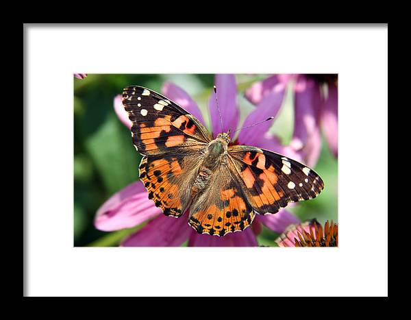 Painted Lady Framed Print featuring the photograph Painted Lady Butterfly by Margie Wildblood