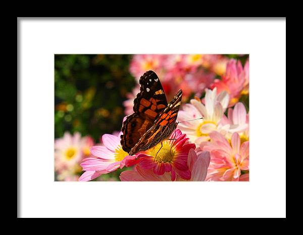 Painted Lady Framed Print featuring the photograph Painted Lady by Kathryn Meyer