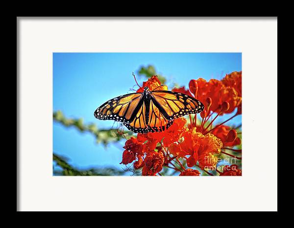Butterfly Framed Print featuring the photograph Painted Lady by Robert Bales