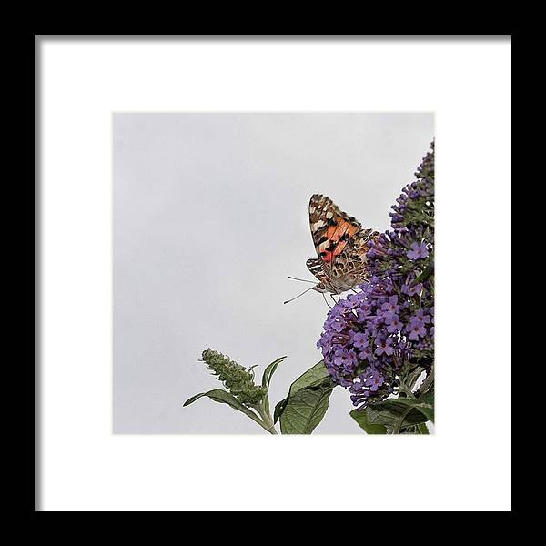 Insectsofinstagram Framed Print featuring the photograph Painted Lady (vanessa Cardui) by John Edwards