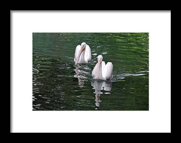 Teresa Blanton Framed Print featuring the photograph Pair Of Pelicans by Teresa Blanton