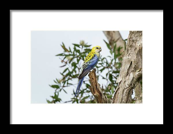 Bird Framed Print featuring the photograph Pale-headed Rosella by Rodney Appleby