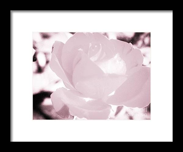 Pale Framed Print featuring the photograph Pale Pink And White Rose by Debra Lynch