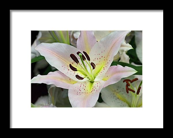 Pale Pink Lily Framed Print By Robert Shard