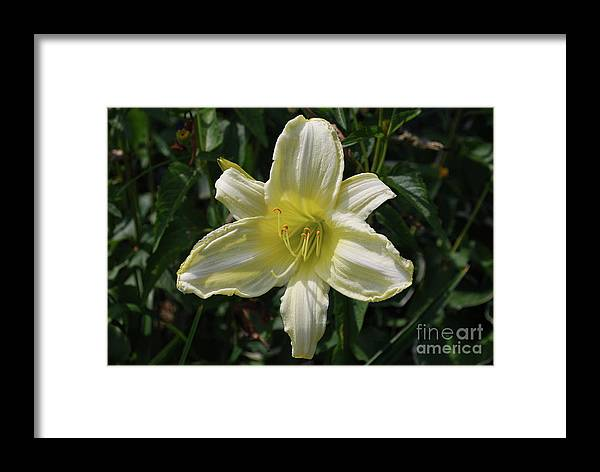 Lily Framed Print featuring the photograph Pale Yellow Flowering Lily Blossom In A Garden by DejaVu Designs