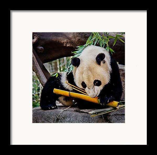 Animals Framed Print featuring the photograph Panda Bear by Robert Bales