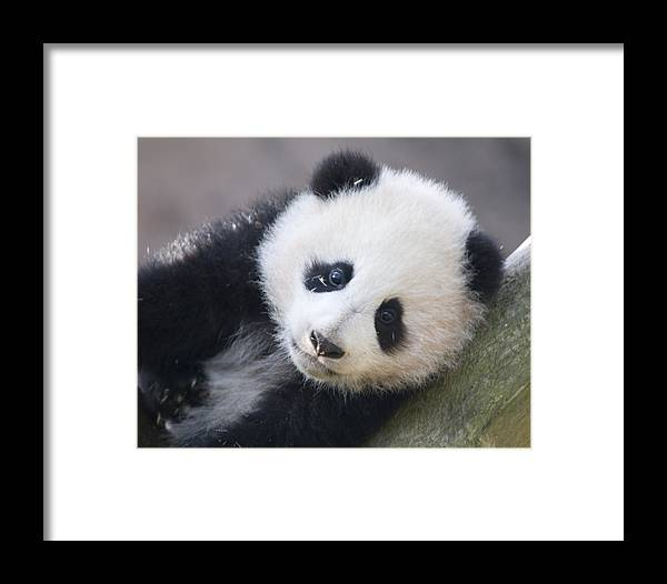 Panda Framed Print featuring the photograph Panda Cub by Jerry Weinstein
